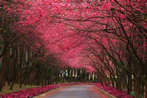 pink trees pink flowering trees wallpapers 3888x2592 14866619