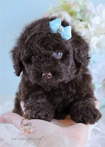 Male Chocolate Poodle Puppies in Broward | Teacups ...