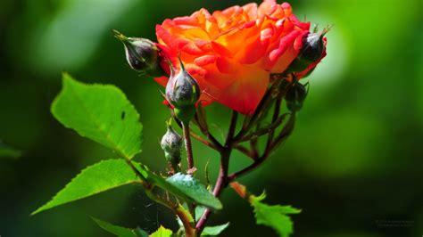 na name image 1920 x 1080 belas rosas flores papel de parede background imagens
