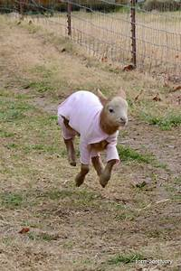 goat | Tacky Raccoons