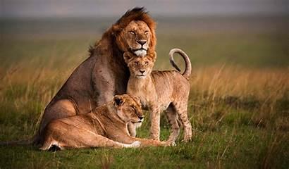 Mara Masai Lion Screensavers Wildlife Safari Kenya