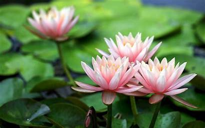 Lotus Flower Wallpapers Background Flowers Desktop Many