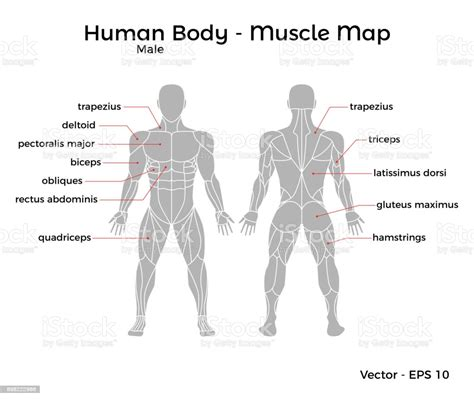 Below are two human body muscle diagrams, showing the front and back of the body. Male Human Body Muscle Map Stock Illustration - Download Image Now - iStock