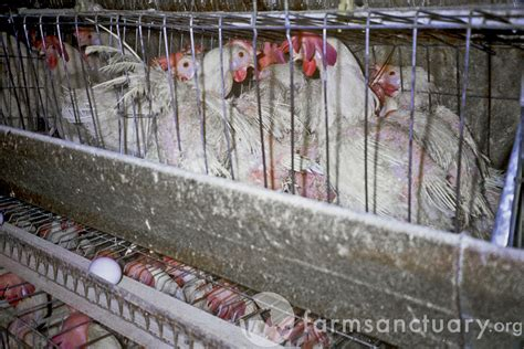 life  factory farms  egg laying hens humane decisions