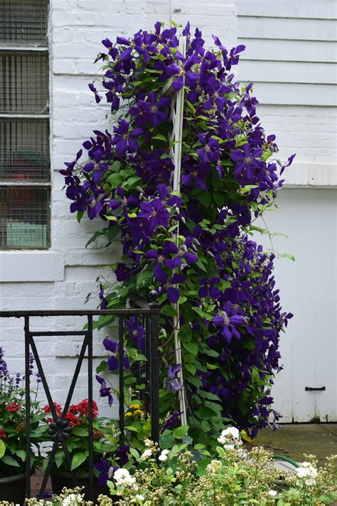 Clematis Trellis by Blooming On Both Sides Of The Trellis