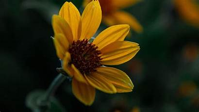 Flower Yellow Bloom Plant Closeup Background 1080p