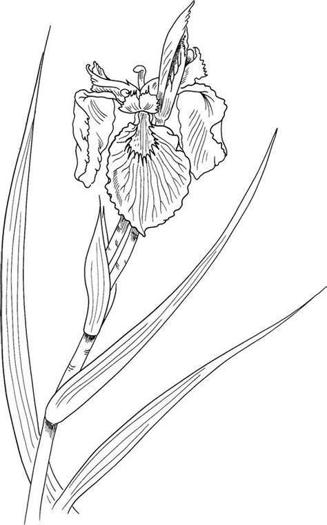 coloring pages coloring pages iris printable  kids