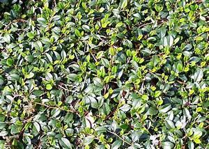 Schnell Wachsender Sichtschutz Immergrün : schnell wachsende bodendecker winterhart bodendecker ~ Michelbontemps.com Haus und Dekorationen