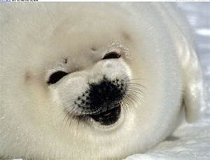 Seals Sounds Baby Seal Screams Video Strange Cute Pictures ...