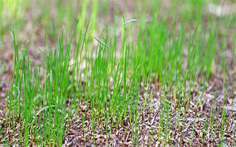 seeding a lawn when can i mow my lawn after seeding lawnscience lawn care franchise
