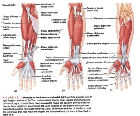 25+ Best Ideas About Forearm Muscles On Pinterest
