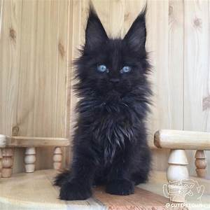 20+ Most Popular Long Haired Cat Breeds | Black kitty ...