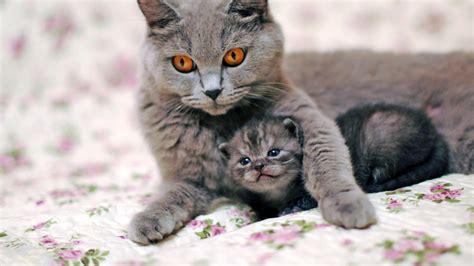 hd hintergrundbilder katze kaetzchen grau familie zuneigung