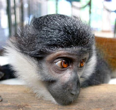 watchingwaitinghoping lhoest monkey
