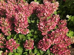 Hortensie Wims Red : rispenhortensie standort rispenhortensie 39 grandiflora ~ Michelbontemps.com Haus und Dekorationen