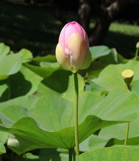 Lotusblume Botanischer Garten Wien by Neuwirth Wientagebuch 2015 08 01 Lotosblume Im Botanischen