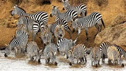 Zebra Animal Background Wallpapers 1920