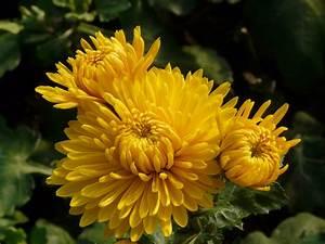 Dendranthema Hybride Balkon : chrysanthemen pflege chrysanthemen pflege chrysanthemen ~ Lizthompson.info Haus und Dekorationen