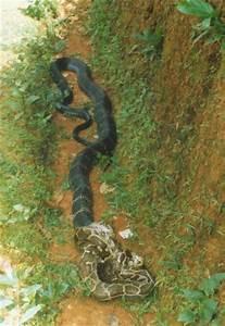 New: king cobra snake king cobra eating king cobra eating ...