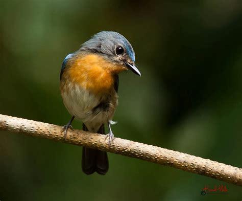 south east asia birds malaysia birds paradise tickell s
