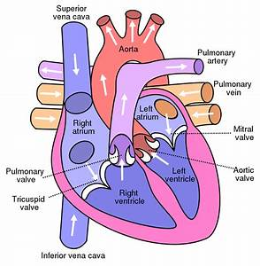 File Diagram Of The Human Heart Svg