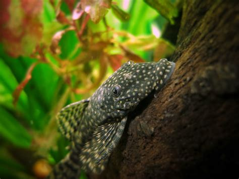 Merkmale, Lebensraum, Aquarium