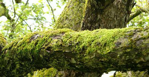 moos steinen entfernen moos entfernen am apfelbaum sch 228 dlich oder nicht baumpflegeportal