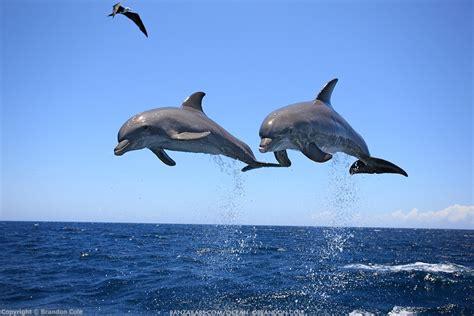 dolphins bottlenose jumping marine mammals brandon cole fish honduras domain florida food easy types reproduction neff jordyn