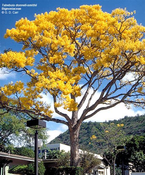 large flowering trees university of hawaii cus plants uh botany