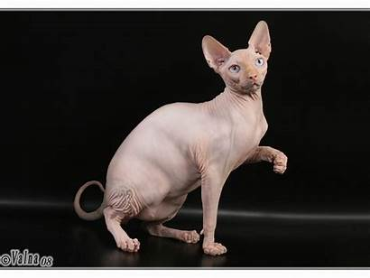 Sphynx Cat Wallpapers Animals Cats Funny Fun