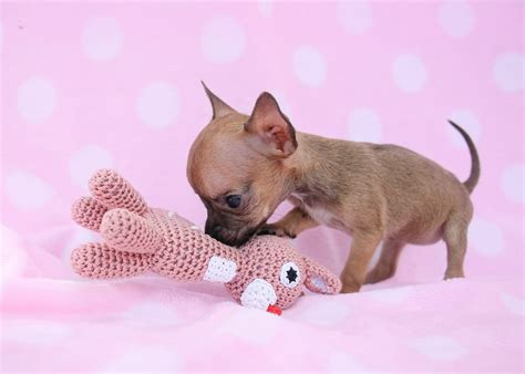 Teacup Chihuahua Puppies Available In South Florida Teacups Puppies Boutique