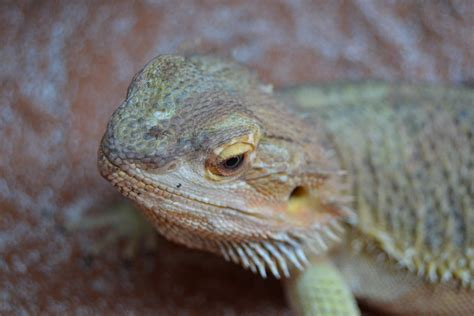 bearded dragon shedding period in progress by danesippi