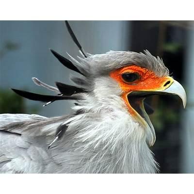 Secretary BirdDunia Binatang