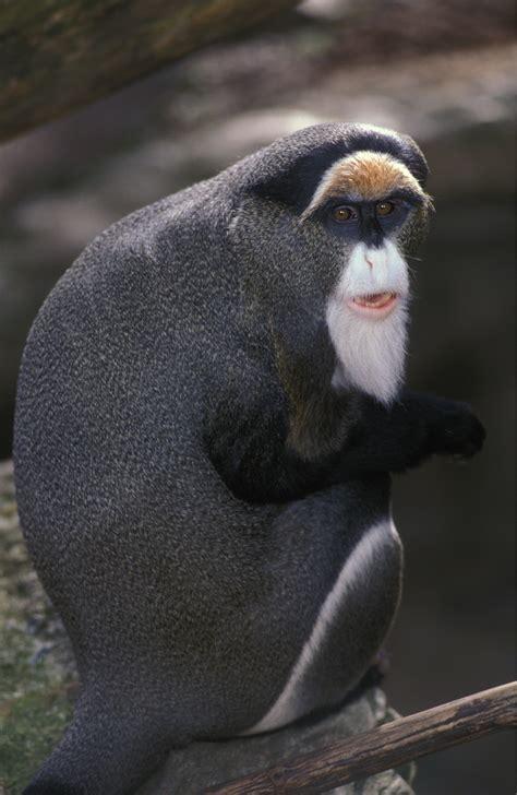 monkey brazza zoo brazzas hunch tags