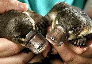 bad day? have some baby platypus : aww