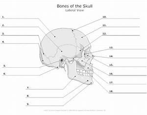 External Anatomy Of The Skull