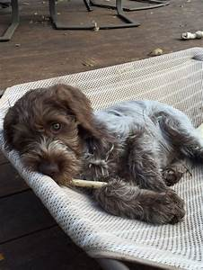 The 25+ best Wirehaired pointing griffon ideas on ...