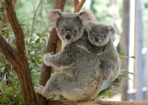 Things To Do In Brisbane With Kids, Koalas And Kangaroos