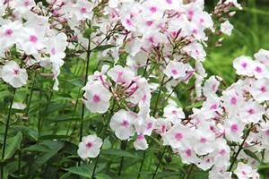 Wann Wird Lavendel Geschnitten : phlox pflanzen pflegen schneiden und mehr ~ Lizthompson.info Haus und Dekorationen
