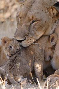 Africa | Mother lion with her cubs. Samburu National Park ...