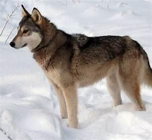 Tamaskan dog in the snow photo and wallpaper. Beautiful ...