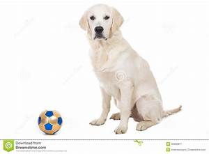 Golden Retriever Puppy With Toy Ball Stock Photo - Image ...
