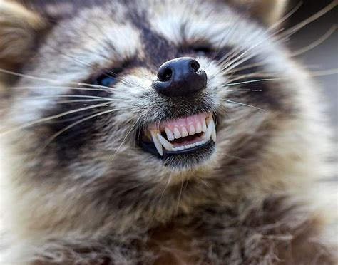raccoons zombie distemper animals pets caption cook go infected across