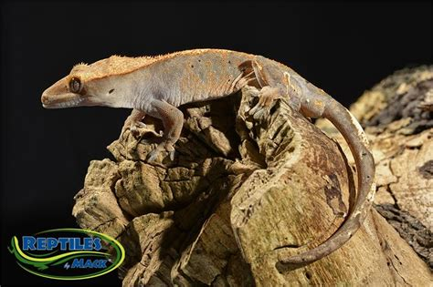 crested gecko lighting crested gecko care sheet reptiles by mack