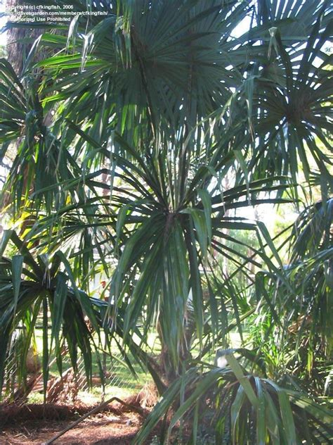 plantfiles pictures bay palmetto sabal mauritiiformis