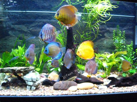 le poisson discus