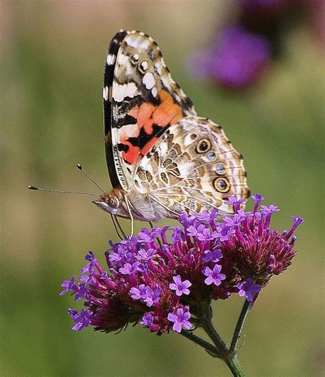 painted lady butterfly new paris indiana usa wanna