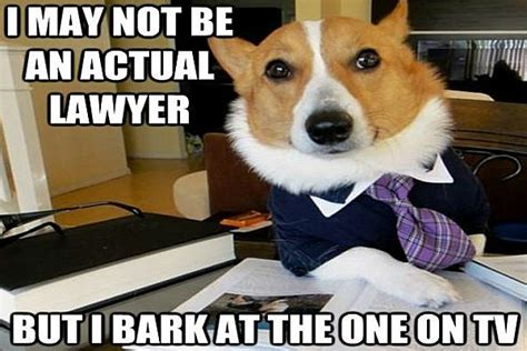 Corgi Lawyer Meme - lawyer dog meme has a nose for justice