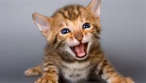 allergy free cats 10 hypoallergenic cats for those with bad allergies