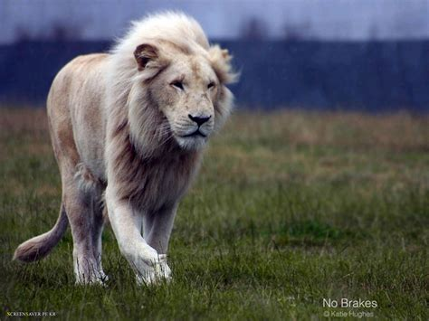 Amazing Lion Wallpapers..